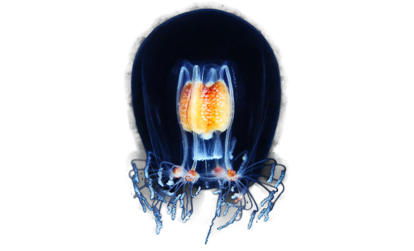 Hydrozoan-jellyfish-Bougainvillia-superciliaris